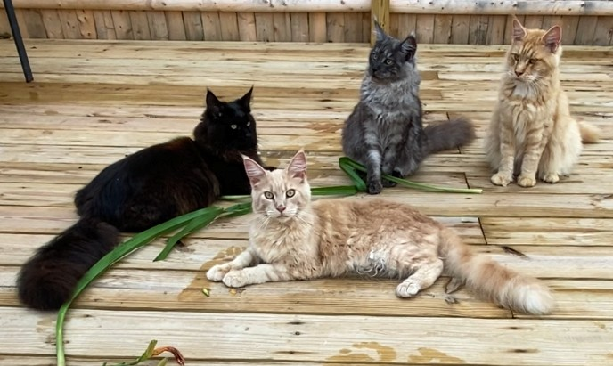 Purebred Maine Coon Cats and Kittens for Sale!